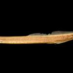Mountain Brook Lamprey - Ichthyomyzon greeleyi