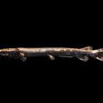 Longnose Gar - Lepisosteus osseus