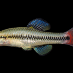 Bluefin Killifish - Lucania goodei