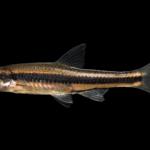 Ironcolor Shiner - Notropis chalybaeus