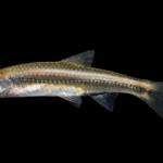 Coastal Shiner - Notropis petersoni
