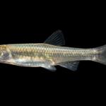 Mimic Shiner - Notropis volucellus