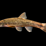Longnose Dace - Rhinichthys cataractae